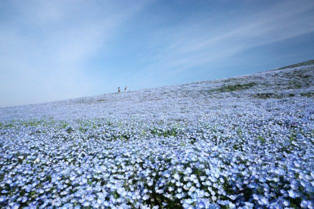 風になびくネモフィラ畑
